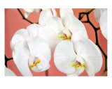 Hawaiian Orchids Number One Photographic Print by Lorrie Morrison