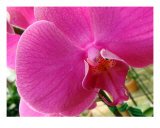 Orchid Flower Close Up II Fotodruck von Francisco Valente