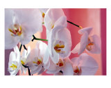 Hawaiian Orchids Number Four Photographic Print by Lorrie Morrison