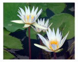 Water Lilies Photographic Print by Francisco Valente