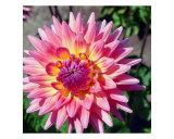 Delilah Flower Detail Fotografie-Druck von Francisco Valente