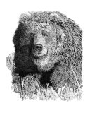 Bear 1 Giclee Print by David H. Doucot