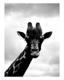 Giraffe Black And White Photographic Print by Lacey Stark