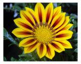 Yellow Daisy Close Up Fotografie-Druck von Francisco Valente