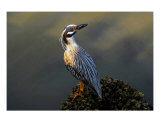 Night Heron Hunting Photographic Print by David Thompson
