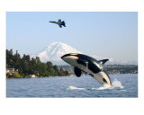 Mount Rainier Orca Killer Whale Blue Angels Photographic Print by Teo Alfonso