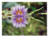 Water Lily Close Up In Pond Photographic Print by Francisco Valente