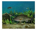Largemouth Bass Giclee Print by Ralph Martens