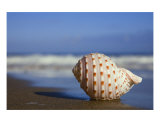 Seashell on the Seashore Photographic Print by Alex Bramwell
