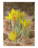 Yellow Crocus Giclee Print by Emily Lilly