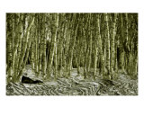 Birch Forest Photographic Print by Clarence Carvell