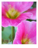 Pink Hollyhocks Photographic Print by Lorrie Morrison