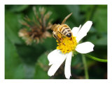 Bee On White Wildflower Photographic Print by Randi Bailey