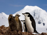 Adult and Juvenile Chinstrap Penguins in Half Moon Bay, Antarctica, January 2007 Photographic Print by Rick Tomlinson
