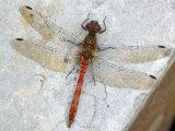 Common Darter Dragonfly Cornwall, UK Photographic Print by Ross Hoddinott