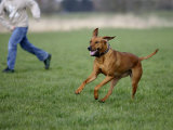 Rhodesian Ridgeback Running in a Field Photo by Petra Wegner