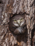 Ferruginous Pygmy-Owl Young Looking Out of Nest Hole, Rio Grande Valley, Texas, USA Photographic Print by Rolf Nussbaumer