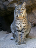 American Bobcat Portrait, Sitting in Front of Cave. Arizona, USA Photographic Print by Philippe Clement