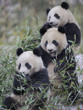 Three Subadult Giant Pandas Feeding on Bamboo Wolong Nature Reserve, China Fotografiskt tryck av Eric Baccega