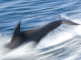 Common Bottlenose Dolphin Swimming Fast, Baja California, Sea of Cortez, Mexico Posters by Mark Carwardine