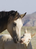 Wild Horse Mustang, Cremello Colt Nibbling at Yearling Filly, Mccullough Peaks, Wyoming, USA Photographic Print by Carol Walker