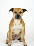 American Staffordshire Terrier Staffy Sitting Portrait Prints by Petra Wegner