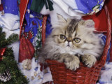 Persian Cat Brown Tabby Kitten in Basket, Texas, USA Posters by Rolf Nussbaumer
