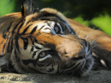 Sumatran Tiger Resting. Captive, Iucn Red List of Endangered Species Posters by Eric Baccega