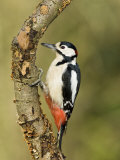 Great Spotted Woodpecker Male on Branch, Hertfordshire, UK, England, February Posters by Andy Sands