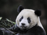 Male Giant Panda Wolong Nature Reserve, China Photographic Print by Eric Baccega