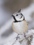 Crested Tit Adult on Frozen Branch in Winter, Minus 15 Celsius, Switzerland Photographic Print by Rolf Nussbaumer