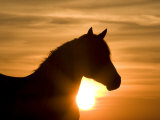 Silhouette of Wild Horse Mustang Pinto Mare at Sunrise, Mccullough Peaks, Wyoming, USA Poster di Carol Walker