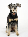Mixed Breed Dog Sitting Down, One Ear Raised Photographic Print by Petra Wegner