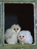 Barn Owl Chicks in Window Cornwall, UK Posters by Ross Hoddinott