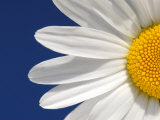 Marguerite Oxeye Daisy Detail, Devon, UK Poster by Ross Hoddinott