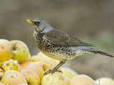 Fieldfare Feeding on Fallen Apples in Orchard, West Sussex, UK, January Posters by Andy Sands