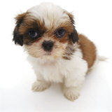 Shih Tzu Pup, 7 Weeks Old, Sitting Down Photographic Print by Jane Burton