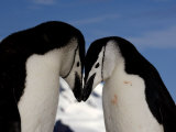 Adult Chinstrap Penguins Courting, Half Moon Bay, Antarctica, January 2007 Photographic Print by Rick Tomlinson