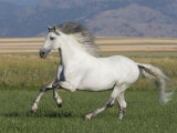 Grey Andalusian Stallion Running in Field, Longmont, Colorado, USA Photographic Print by Carol Walker