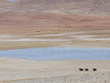 Wild Yaks Beside a Lake in the Chang Tang Nature Reserve of Central Tibet., December 2006 Posters by George Chan