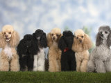 Seven Miniature Poodles of Different Coat Colours to Show Coat Colour Variation Within the Breed Photographic Print by Petra Wegner