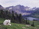 Mountain Goat Adult with Summer Coat, Hidden Lake, Glacier National Park, Montana, Usa, July 2007 Photographic Print by Rolf Nussbaumer