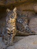 Two American Bobcats Resting in Cave. Arizona, USA Photo by Philippe Clement