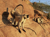 Hanuman Langur Alpha Male Displaying, Thar Desert, Rajasthan, India Posters by Jean-pierre Zwaenepoel