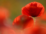 Common Poppy Flower, Cornwall, UK Posters by Ross Hoddinott