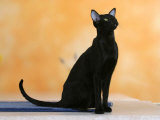 Oriental Shorthair Cat, Black Ebony Photographic Print by Petra Wegner