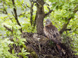 Red Kite Standing on Edge of Nest with Eggs, Wales, UK Photographie par Andy Sands
