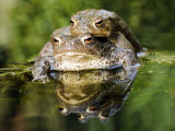 Common European Toad Pair in Amplexus in Pond, Hertfordshire, UK Photo by Andy Sands