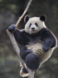 Subadult Giant Panda Climbing in a Tree Wolong Nature Reserve, China Fotoprint av Eric Baccega
