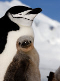 Adult and Juvenile Chinstrap Penguins, Half Moon Bay, Antarctica, January 2007 Photographic Print by Rick Tomlinson